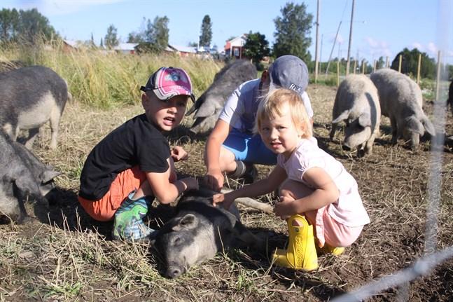Roligt att klia grisarna, tycker 5-åriga Axel Hållfast, 8-åriga Lauri Hållfast och 2-åriga Ella Hållfast. Skönt att bli krafsad på magen, verkar kultingen tycka.