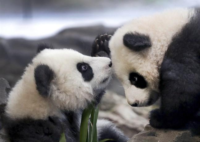 Populationen av vilda jättepandor växer i Kina – något som pandatvillingarna Meng Yuan och Meng Xiang, på Berlins Zoo, antagligen är ovetandes om.