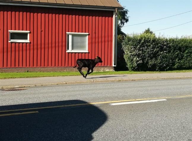 Greger Byskata hann knäppa ett foto på Essekalven som var på rymmen genom centrum av byn under tisdagsförmiddagen.