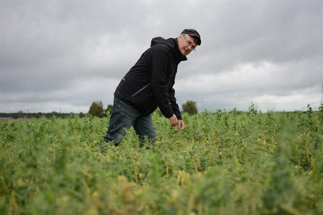 Utmaningarna är många för bönderna. Det tvingar en att vara initiativ. I år odlar Torolf Sjögård därför ärter – och han hoppas på god lönsamhet.