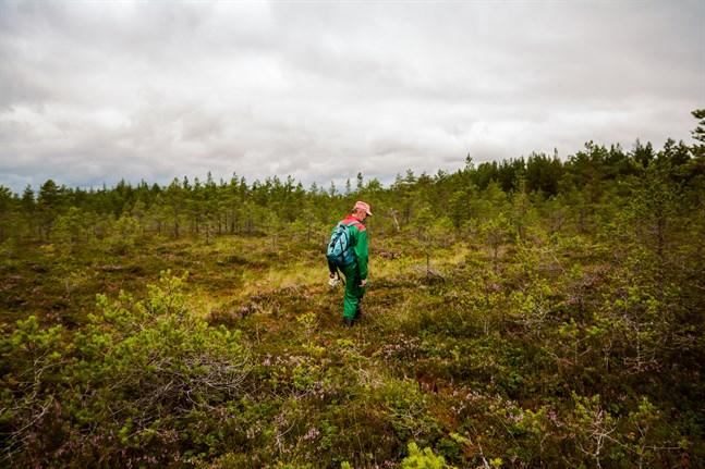 Kristian Sjöbacka på spaning efter hjortron på en mosse någonstans i Övermark.