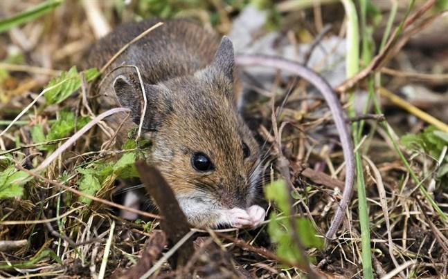 Muspappor är bättre på att ta hand om sina ungar än råttpappor. Enligt en ny studie kan detta spåras till en gammal den av hjärnan, hypotalamus.