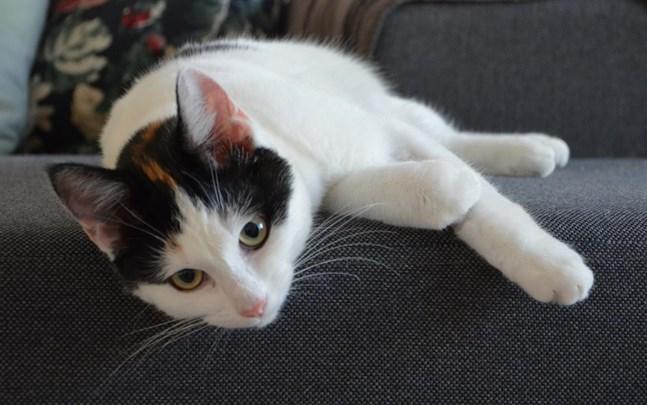 Lilli är en av de katter som hastigt blev svårt sjuka i Kristinestad.