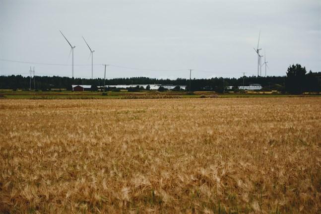 De första tröskorna har börjat skörda i Sydösterbotten och snart är man i gång i resten av landskapet. Årets skörd ser ut att bli under medeltalet.