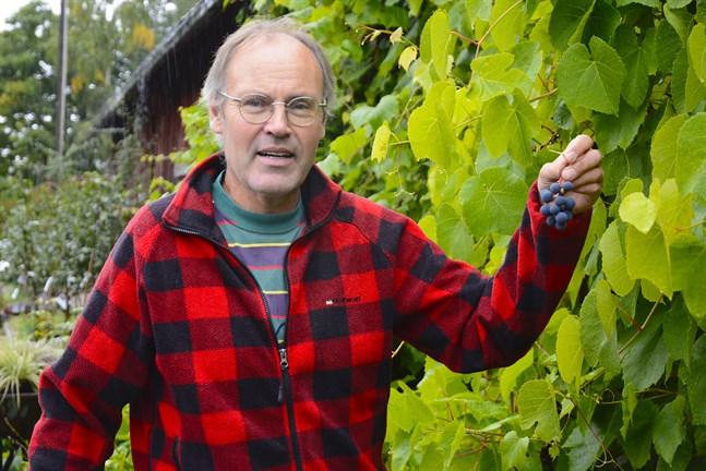 Vindruvorna är mogna på söderväggen vid Wickmans plantskola i Finby.