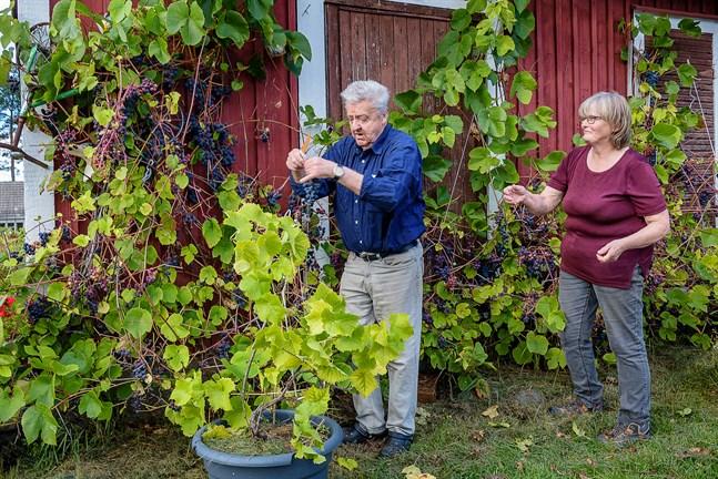 För att druvorna ska få mer sol och mogna ordentligt plockar Sven-Olof och Marianne bort en del av bladen på rankorna.