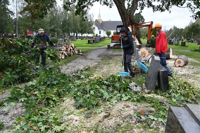 Jan-Erik Frantz, Ann-Sofie Ström och Kristian Perätalo röjer upp efter stormen Ailas framfart på begravningsplatsen i Närpes. Stormen klöv en gammal lönn som föll över gravstenarna.