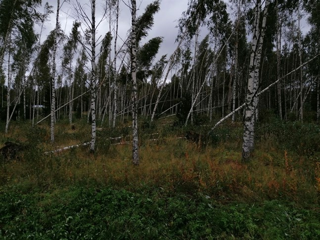 Öja var särskilt utsatt i stormen. Orsaken är det utsatta läget, den klippiga terrängen och luftkablar i stället för jordkablar, enligt Veli-Pekka Kinnunen, affärsområdeschef på Karleby Energinät.