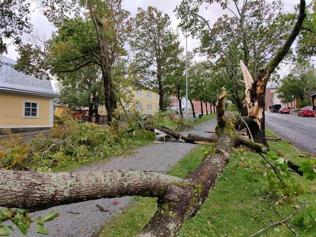 Omkullblåsta träd i esplanaderna kommer att ersättas.