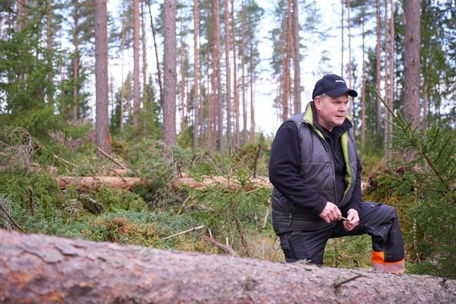 Förarglig. Så beskriver Henrik Holm stormen och dess verkningar på tallarna i Hirvlax som hans farfar planterade på 1940-talet.