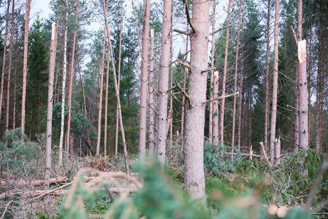 Avbrutna tallar syns lite varstans, här i skogen i Munsala.