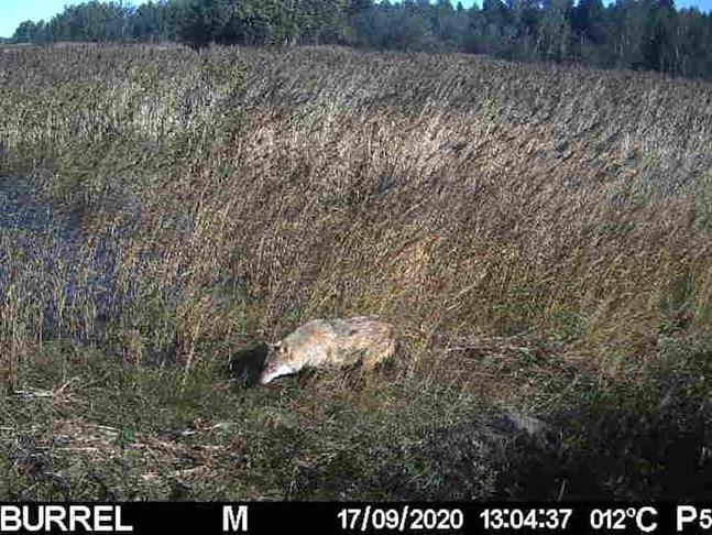 Bilden är tagen av viltkameran för mårdhundsprojektet i Björköby. På bilden står det felaktigt att den är tagen i torsdags. Bilden togs i lördags.