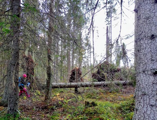 På flera ställen tvingas man ut i obanad terräng för att komma runt de fallna träden.