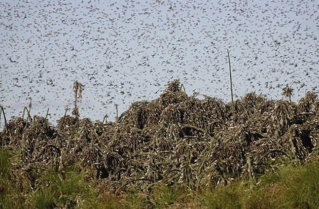 Gräshoppor är ett återkommande gissel i flera afrikanska länder. Bild från början av september i Botswana.