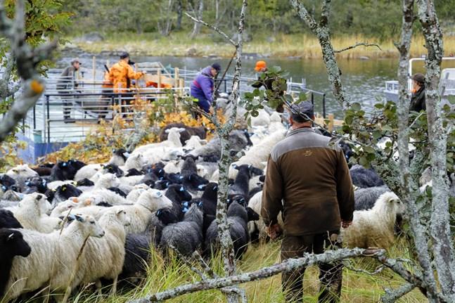 Nästan 130 får saknades efter sommarbetet i Björkö. Det stod klart efter årets fårskall.