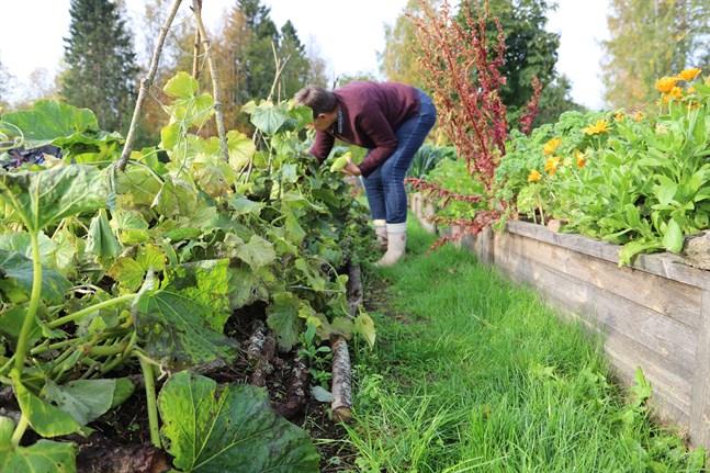 Ulrica Taylor valde att odla squash, gurka och pumpa i hugelbädden i fjol.