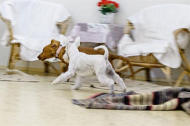 Hunden har inverkan på hemmets inomhusluft – förmodligen med positiva konsekvenser.