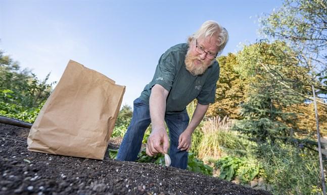Vitlöken planteras med 15-20 cm mellanrum i åtta centimeters djupa hål. Vitlöksexpert Åke Truedsson visar hur man gör.
