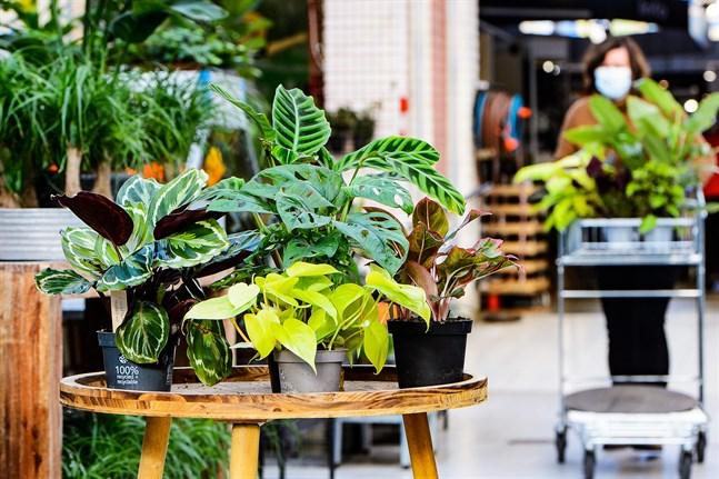 Krukväxterna har blad i olika former och färger. En grönväxt kan också stå på bordet i stället för en bukett med snittblommor.