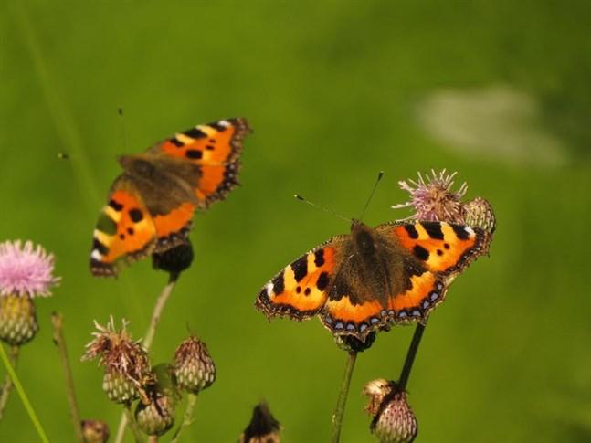 Sensommarens åkertistlar är populära nektarbarer för nässelfjärilar och andra stora dagfjärilar.