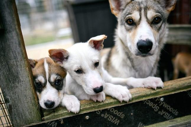 Bland annat de som ordnar utflykter med hundsläde har drabbats hårt av coronarestriktionerna. Fotot är från All Huskies hundgård i Kittilä.