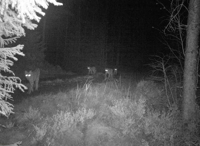 Torolf Geisors viltkamera har hunnit fånga många djur på bild i Påskmark. Den här gången blev det en hel lodjurskvartett.