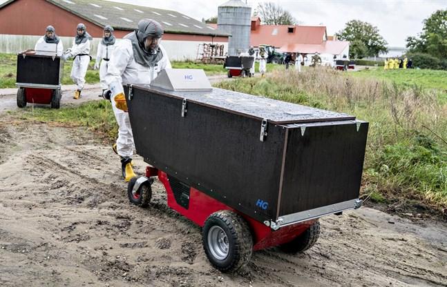I Danmark pågår massavlivning av mink. Arkivbild.