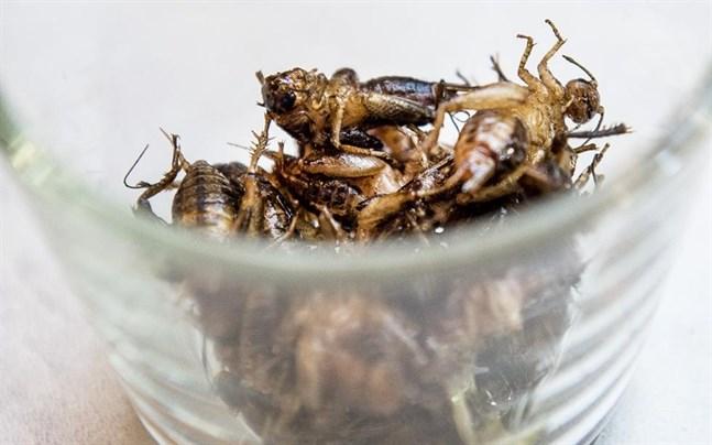 Stekta syrsor innehåller massvis med protein – men skaldjurs- och blötdjursallergiker bör hålla sig borta.