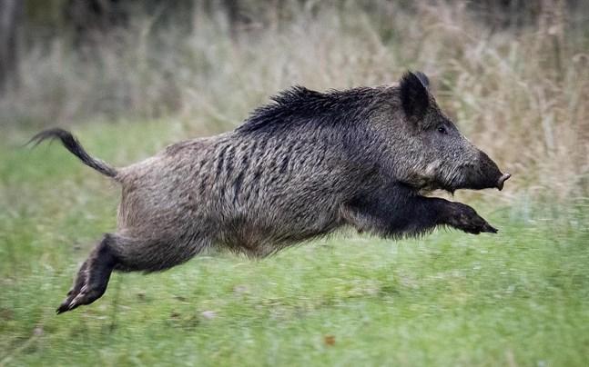 Två skånska vildsvin har visat sig smittade av en allvarlig och ovanlig form av salmonella.