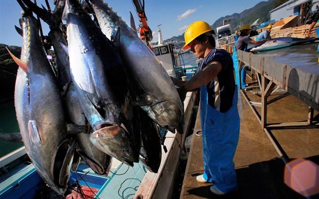 När tonfiskar dör till havs sjunker de ned till botten och fungerar som en naturlig kolsänka.