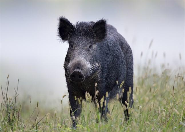 I dag finns ungefär 300000 vildsvin i Sverige.