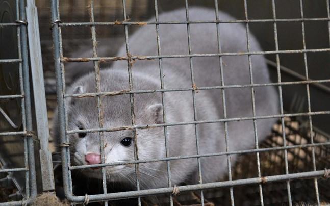 I onsdags meddelade regeringen att samtliga minkar i Danmark, 15–17 miljoner minkar, ska avlivas.