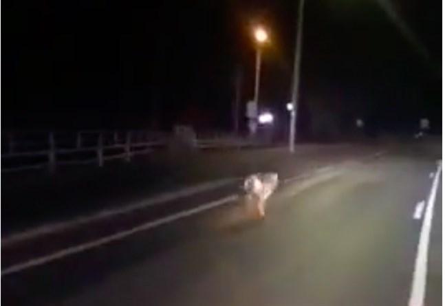 Casper Fred från Vasa filmade en varg på Replotbron på fredagsnatten.