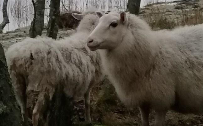 De här två tackorna hittades på Fjärdsbådan i Molpe i tisdags. Två lamm fanns också på holmen.