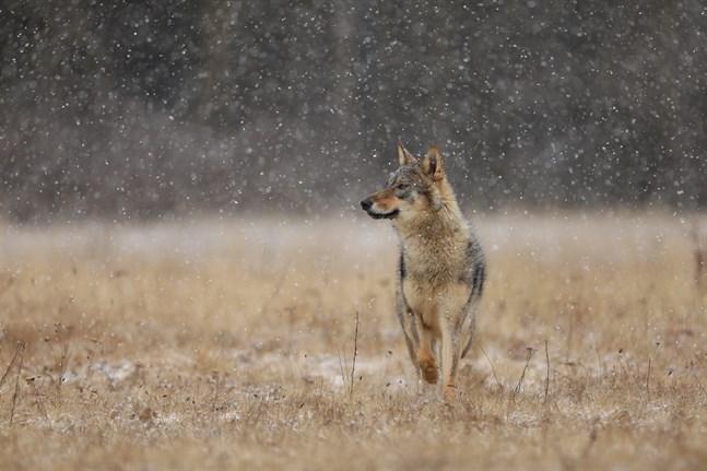 I årets inventering av rovdjur räknade man till 74 vargar på ett område i Österbotten, Södra Österbotten och norra Satakunta.