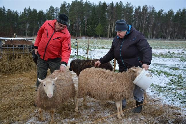 Leif Kaas och Lilian Broända får hela tiden frukta för att vargen ska komma åt deras får.