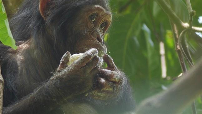 En schimpansunge som äter mango i en film producerad av National Geographic.