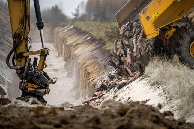 Mer än 10000 ton mink ligger nu nergrävd i massgravar på Jylland. Arkivbild.