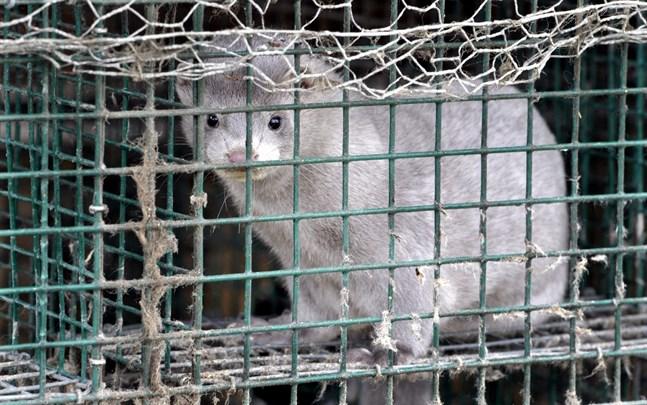 Hittills har inga coronasmittade minkar hittats i Finland.