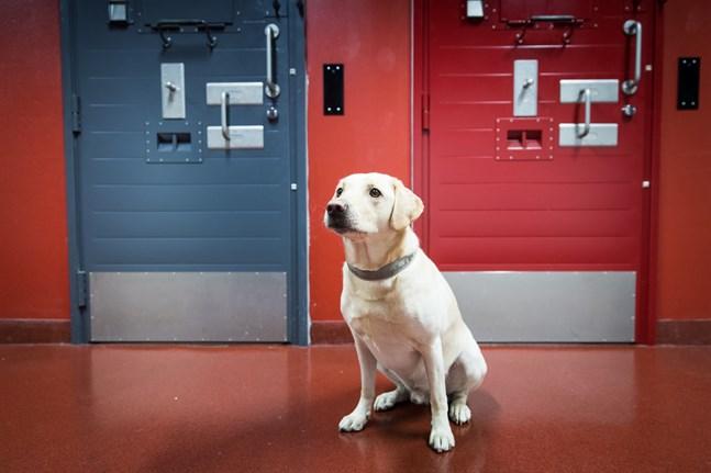 Fängelsehunden Unto är årets fängelsehund 2020.
