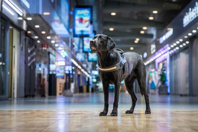 Tullhunden Massi är årets tullhund 2020.