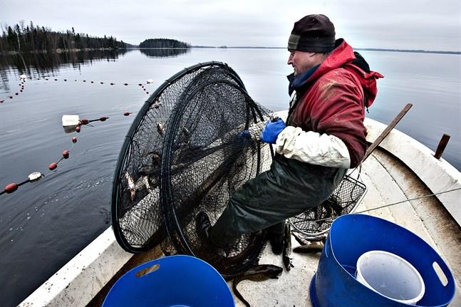 Yrkesfiskaren Roland Semskar anser att gösen i Larsmo-Öjasjön också i fortsättningen borde fredas under lektiden.