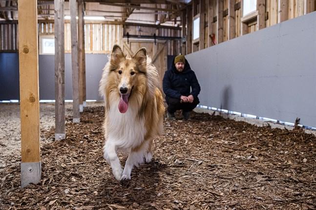 Collien Sisu behöver mycket motion. Promenader i koppel med ägaren Joni Lahti räcker inte alltid till och därför får Sisu nu testa att springa fritt i den nya hundtunneln i Karleby.