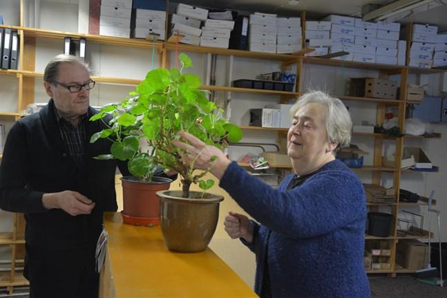 Lilian och Hans-Anders Lagerström trivs bland växter och grönt. Nu har många pelargoner fått plats i packningshallen, som tömts på hyllor och frön.