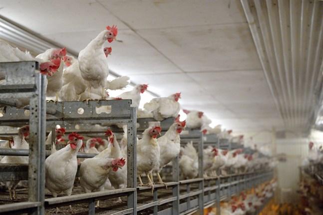 Utbudet av ägg till påsk hotas i Sverige av ett omfattande utbrott av fågelinfluensa på en gård i Mönsterås.
