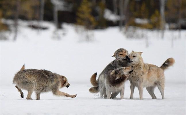 De här vargarna är fotograferade i närheten av Kuhmo.