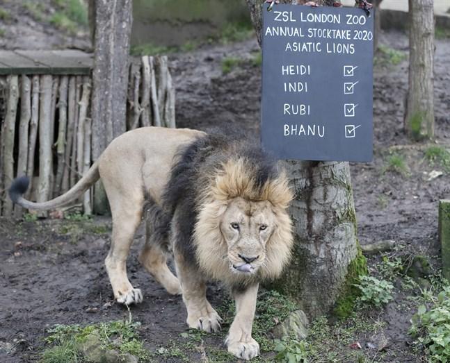 Lejonet Bhanu på London Zoo i januari i fjol.