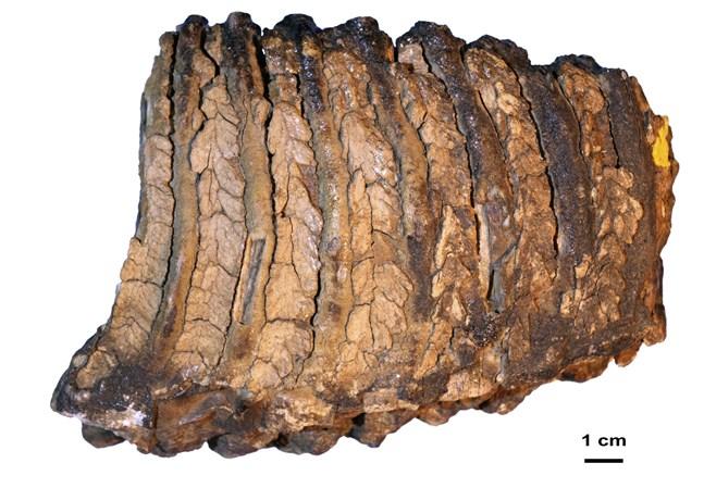 Mammuttanden låg begravd i sibirisk permafrost i 1,2 miljoner år innan en rysk paleontolog hittade den på 1970-talet. Först 40 år senare fanns tekniken för att ta fram dna ur tanden.