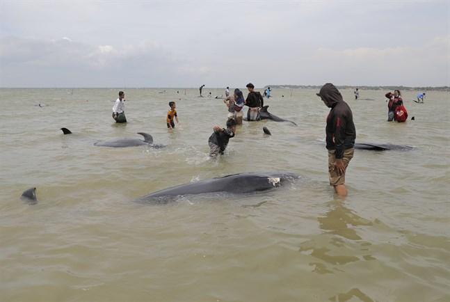 Öbor på indonesiska Madura beskådar valkadaver vid stranden.