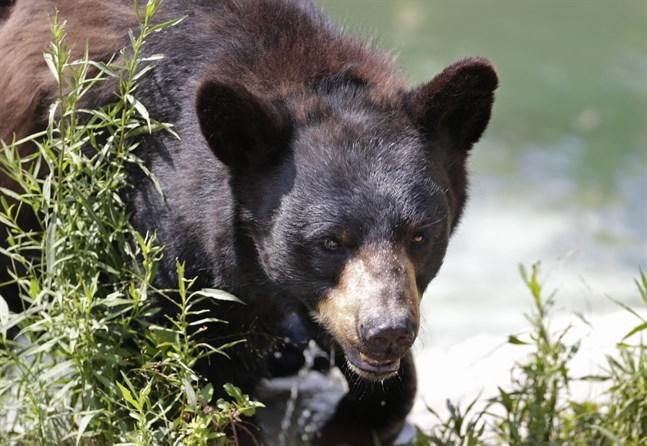 En kvinna blev biten på ett utedass, sannolikt av en björn. Här är en annan amerikansk svartbjörn. Arkivbild.